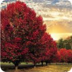 Buy Pimpernel Scenic and Decorative Crimson Trees Coasters Set of 6 at Louis Potts
